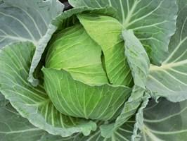 Атрия F1, семена капусты белокочанной  (Seminis / Семинис)