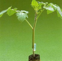Максифорт F1, семена подвоя (De Ruiter Seeds / Де Ройтер Сидс)