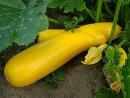 Голд Раш F1, семена кабачка (Seminis / Семинис)