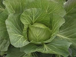 Грин Флеш F1, семена капусты белокочанной (Seminis / Семинис)