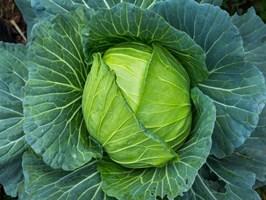 Вестри F1, семена капусты белокочанной (Seminis / Семинис)