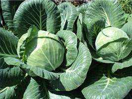 Ринда F1, семена капусты белокочанной (Seminis / Семинис)