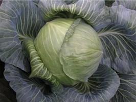 Арривист F1, семена капусты белокочанной (Seminis / Семинис)