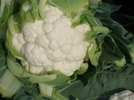 СВ 5818 АЦ F1, семена капусты цветной (Seminis / Семинис)