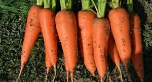 СВ 7381 F1, семена моркови (Seminis / Семинис)