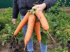СВ 3118 F1, семена моркови (Seminis / Семинис)