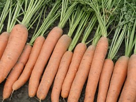 Мирна F1, семена моркови (Seminis / Семинис)