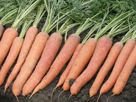 Небула F1, семена моркови (Seminis / Семинис)
