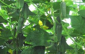 Карин F1, семена огурца партенокарп. (Seminis / Семинис)