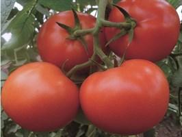 Матиас F1, семена томата индетерминантный (Seminis / Семинис)