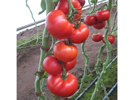Мелодия F1, семена томата индетерминантный (Seminis / Семинис)