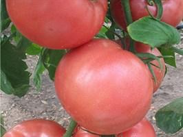 Пандароза F1, семена томата индетерминантный (Seminis / Семинис)