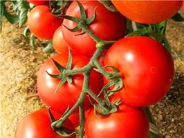 Энигма F1, семена томата индетерминантный (Seminis / Семинис)