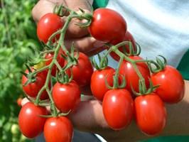 Рэпид F1, семена томата детерминантный (Seminis / Семинис)