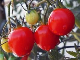Экватор F1, семена томата детерминантный (Seminis / Семинис)