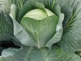 Саратога F1, семена капусты белокочанной (Bejo / Бейо)
