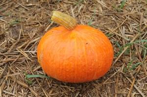 Оранж Сан, семена тыквы  (Wing Seed /Винг Сидс )