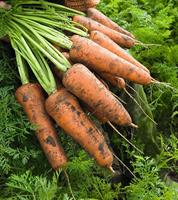 Кордоба F1, семена моркови (Bejo / Бейо)