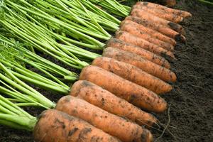 Каскад F1, семена моркови (Bejo / Бейо)