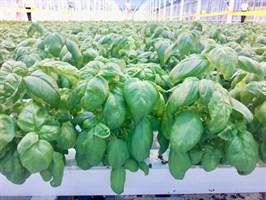 Зелёный Ароматный, семена базилика зелёного (Wing Seed/Винг Сидс)
