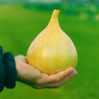 Эксибишен, семена лука репчатого (Bejo / Бейо)