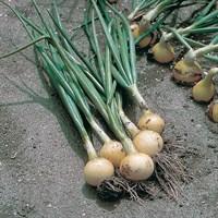 Свифт, семена лука репчатого (Bejo / Бейо)