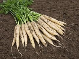 Вайт Сатин F1, семена моркови (Bejo / Бейо)