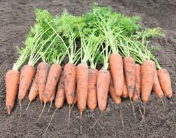 Кантербюри F1, семена моркови (Bejo / Бейо)