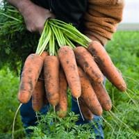 Кардифф F1, семена моркови (Bejo / Бейо)