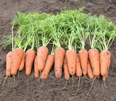 Кесена F1, семена моркови (Bejo / Бейо)