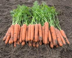 Навара F1, семена моркови (Bejo / Бейо)