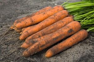 Ниланд F1, семена моркови (Bejo / Бейо)