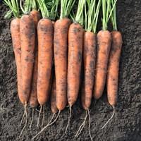 Норвегия F1, семена моркови (Bejo / Бейо)