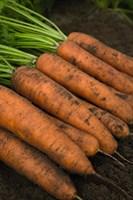 Белградо F1, семена моркови (Bejo / Бейо)