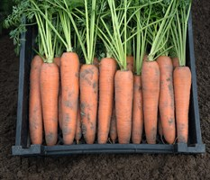 Берлин F1, семена моркови (Bejo / Бейо)