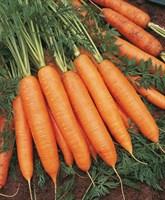 Бангор F1, семена моркови (Bejo / Бейо)
