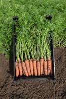 Нарбонне F1, семена моркови (Bejo / Бейо)