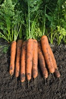 Намур F1, семена моркови (Bejo / Бейо)