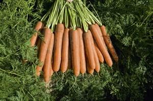 Намдал F1, семена моркови (Bejo / Бейо)