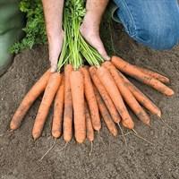 Найджел F1, семена моркови (Bejo / Бейо)
