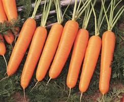 Найроби F1, семена моркови (Bejo / Бейо)