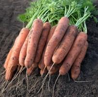 Нектар F1, семена моркови (Bejo / Бейо)