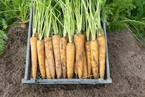Еллоустоун, семена моркови (Bejo / Бейо)