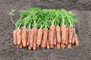 Ромоса, семена моркови (Bejo / Бейо)