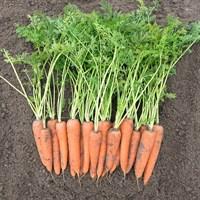 Вита Лонга, семена моркови (Bejo / Бейо)