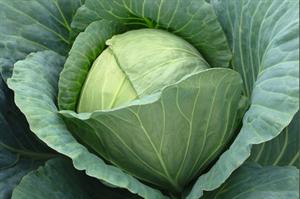 Сателит F1, семена капусты белокочанной (Bejo / Бейо)