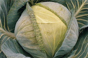 Итон F1, семена капусты белокочанной (Bejo / Бейо)