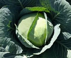 Бронко F1, семена капусты белокочанной (Bejo / Бейо)