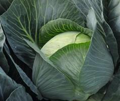 Бруно F1, семена капусты белокочанной (Bejo / Бейо)