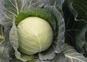 Газель F1, семена капусты белокочанной (Bejo / Бейо)